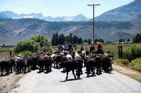 Aug. 25 Afternoon Cattle Move